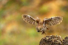 El noctua del Athene del pequeño búho está volando con la presa foto de archivo libre de regalías