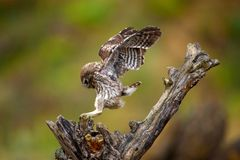 El noctua del Athene del pequeño búho vuela en un palillo foto de archivo libre de regalías