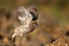 El noctua joven del Athene del pequeño búho está volando fotografía de archivo