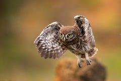 El noctua joven del Athene del pequeño búho está volando con la presa fotos de archivo libres de regalías