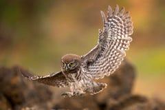 El noctua joven del Athene del pequeño búho está volando con la presa imagen de archivo