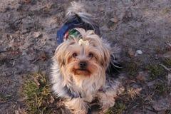 El nombre hermoso de York del perro es Jesse, camina en la calle y las miradas en la lente fotos de archivo