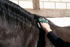 El novio limpia un caballo. Fotografía de archivo libre de regalías