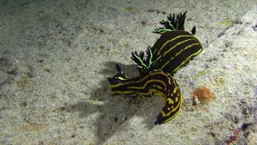 El nudibranch del luteolineata de dos Roboastra es acoplamiento que va en el Mar Rojo, almacen de metraje de vídeo
