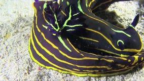 El nudibranch del luteolineata de dos Roboastra es acoplamiento que va en el Mar Rojo, almacen de video