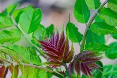 El nuevo, colorido rojo se va con las hojas verdes claras en fondo Foto de archivo