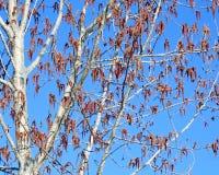 El nuevo crecimiento y las semillas cuelgan de las ramas larguiruchas de un árbol de abedul en primavera temprana Foto de archivo