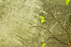 El nuevo verde deja las hojas viejas del crecimiento en lugar de otro que caen y el fondo concreto, nueva vida Fotos de archivo libres de regalías