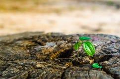 El nuevo verde se va nacido en el árbol viejo, fondo texturizado, foto común de la naturaleza, foco selecto Fotos de archivo
