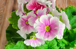El obconica de la prímula me toca, rosa con las flores blancas, hojas del verde Imagenes de archivo