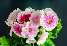 El obconica de la prímula me toca, rosa con las flores blancas, hojas del verde Fotos de archivo libres de regalías