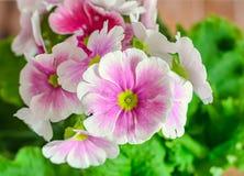 El obconica de la prímula me toca, rosa con las flores blancas, hojas del verde Fotografía de archivo
