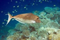 El Océano Índico. Pescados en corales. Maldives Fotos de archivo libres de regalías
