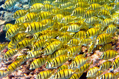 El Océano Índico. Pescados en corales. Fotos de archivo libres de regalías