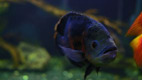 El ocellatus de Astronotus nada en acuario con otros pescados exóticos metrajes