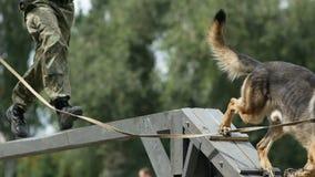 El oficial de policía con el alemán del perro del servicio que el shepherdom funciona con una carrera de obstáculos en la compete almacen de video