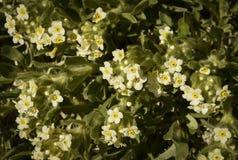 El ojo amarillo Cryptanth florece el flavoculata de Cryptantha Foto de archivo