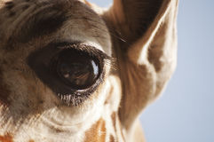 El ojo de la jirafa Imagen de archivo