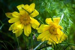 El ojo de la primavera del amarillo del faisán hermoso de las flores Fotografía de archivo libre de regalías