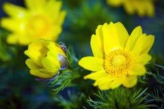 El ojo de la primavera del amarillo del faisán hermoso de las flores Fotografía de archivo