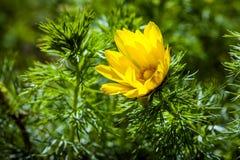 El ojo de la primavera del amarillo del faisán hermoso de las flores Foto de archivo libre de regalías