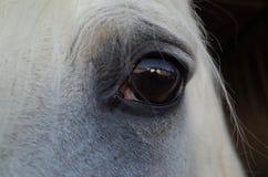 El ojo del caballo blanco Fotos de archivo libres de regalías