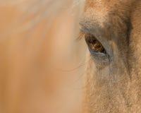 El ojo del caballo del Palomino Foto de archivo