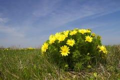 El ojo del faisán de la hierba curativa, vernalis de Adonis Foto de archivo libre de regalías
