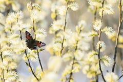 El ojo del pavo real de la mariposa se sienta en los colores mullidos del willo de oro Foto de archivo