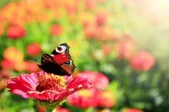 El ojo del pavo real de la mariposa se sienta en el zinnia Foto de archivo libre de regalías