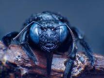 El ojo macro extremo del tiro de manosea la abeja, latipes del Xylocopa en salvaje El cierre encima del detalle del ojo es muy pe Imagen de archivo libre de regalías