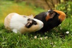 El oler de los conejillos de Indias Fotografía de archivo