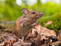 El oler del ratón de campo (sylvaticus del Apodemus) Foto de archivo libre de regalías