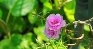 El oleracea de Portulaca Fotografía de archivo libre de regalías