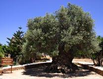 El olivo más viejo Foto de archivo libre de regalías