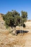 El olivo viejo está descansando sobre su escalera de mano del metal Fotos de archivo libres de regalías