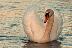 El olor del Cygnus del cisne mudo foto de archivo libre de regalías