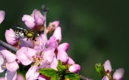 El olor fragante del melocot?n de florecimiento atrajo la atenci?n de la abeja fotos de archivo libres de regalías