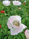 El opio rosado suave y dulce florece en el campo Fotografía de archivo