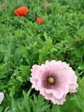 El opio rosado suave y dulce florece en el campo Imagen de archivo