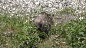 El oposum joven camina en el prado de la Florida metrajes