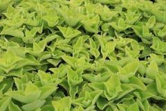 El orégano planta amboinicus del plecanthrus Imagen de archivo libre de regalías