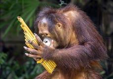 El orangután está mostrando en parque zoológico Fotografía de archivo libre de regalías