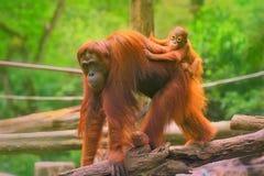 El orangután joven está durmiendo en su madre fotos de archivo
