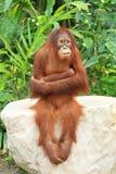 El orangután que se sienta en la roca y la cruz unas arman Imagen de archivo libre de regalías