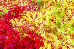 El ornamental de la planta del coleo sale del ejemplo Foto de archivo