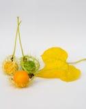 El oro de Grandis de la Coccinia en el jardín es hiedra ORF Foto de archivo libre de regalías