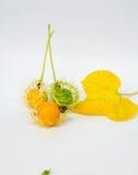 El oro de Grandis de la Coccinia en el jardín es hiedra ORF Fotos de archivo libres de regalías