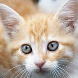 El oro hermoso de Big Blue observa el gatito Fotos de archivo