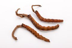 El oro himalayan Nepal de Yartsa Gunbu Yarsagumba del sinesis de Cordyceps aisló Foto de archivo libre de regalías